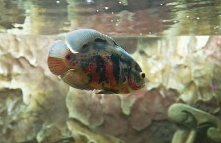 astronotus: Tropical fish astronotus ocellatus, recorded in town Yevpatoria in Crimea.