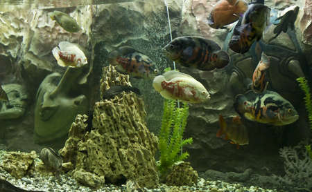 Tropical fish astronotus ocellatus, recorded in aquarium in town Yevpatoria in Crimea.