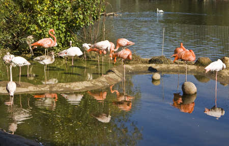 Many pink and white flamingo standing on blue water with refleciton, recorded in Moscow zoo. Stock Photo - 13277855