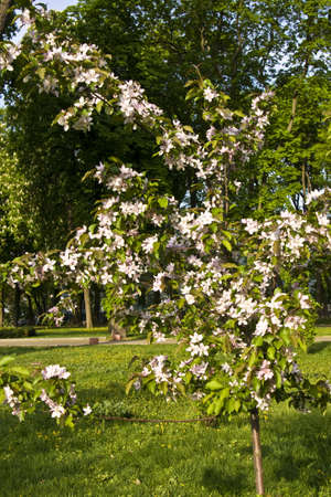 Spring landscape  - little pink apple tree in blossom. Stock Photo - 13277988