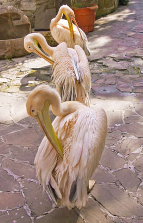Three pink pelicans standing on stone yard. Stock Photo - 13991389