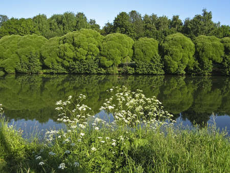 Summer landscape with lake, willow trees and white wild flowers on banks, reflection of plants in water. Recorded in Izmaylovskiy park in Moscow Stock Photo - 13991395