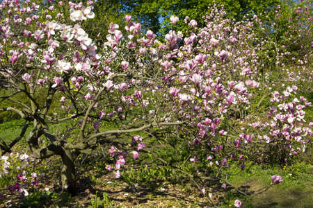 Pink magnolia in blossom, recorded in botanic garden of academic Fomin in Kiev. Stock Photo - 13991418