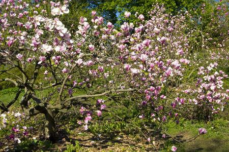 Pink magnolia in blossom, recorded in botanic garden of academic Fomin in Kiev. Stock Photo - 13991418
