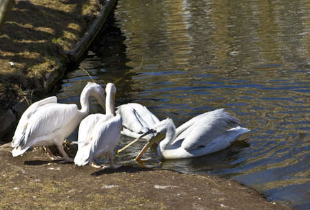 Few white pelicans swimming in water. Recorded in Moscow zoo. Stock Photo - 14034006