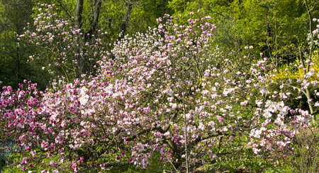 Magnolia tree in blossom with pink flowers. Stock Photo - 14034073