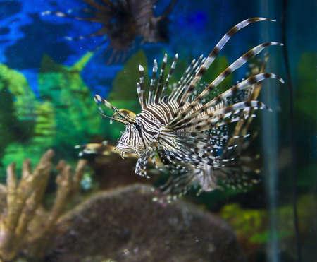pterois: Tropical fish Fish-zebra (Pterois Volitans).