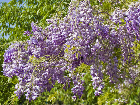 Branches of wistaria in blossom with blue flowers. Stock Photo - 14126550