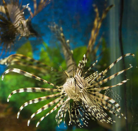 pterois volitans: Fish Zebra (Pterois volitans) in water.