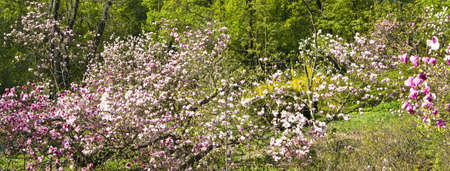 Garden with magnolia trees in blossom with pink flowers. Stock Photo - 14126587