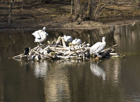 Few white pelicans on nest on water. Recorded in Moscow zoo. Stock Photo - 14126509