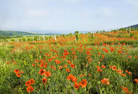 Paysage - coquelicots et vignes, enregistrées dans la région de Crimée, en Ukraine. Banque d'images - 14271224