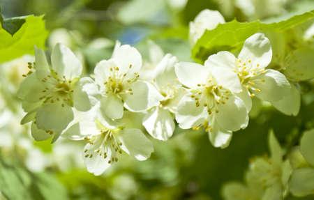 jessamine: Fiori di gelsomino Garden (gelsomino, jessamin (e). Archivio Fotografico