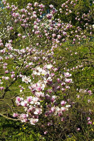 Pink magnolia trees in blossom with flowers Stock Photo - 14511816