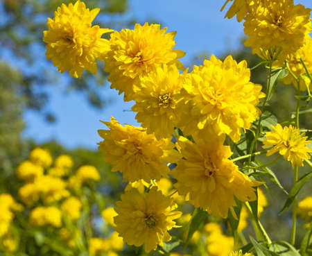 Yellow flowers Rudbeckai Echinacea on blue sky. photo