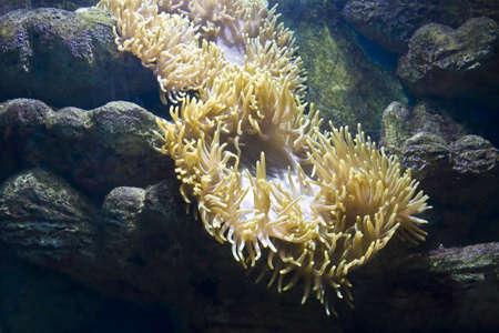 actinia: Actinia (anemona de mar) bajo el agua, las piedras alrededor.