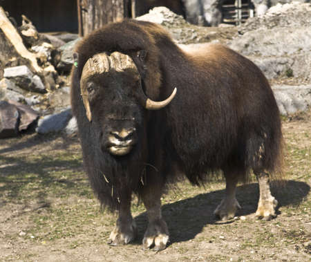 Musk ox (ovidox moschatus), lives in North America and Canada, recorded in Moscow zoo.