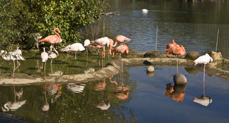 Few pink and white flamingo standing in pond with reflection in water, recorded in Moscow zoo. Stock Photo - 14550988