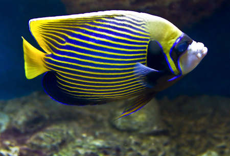 pomacanthus imperator: Fish-emperor (fish-angel), latin name Pomacanthus imperator. Stock Photo