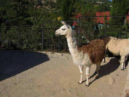 Lama. Zoo in town Yalta, Crimea, Ukraine. photo