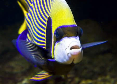 pomacanthus: Fish-emperor (Fish-angel), latin name Pomacanthus imperator.