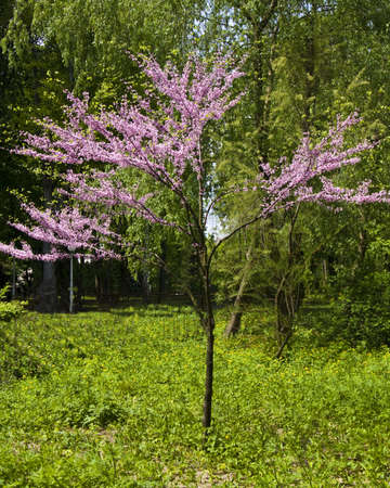 Spring landscape - little pink Hapanese cherry tree in park, vertical orientation. Stock Photo - 14778083