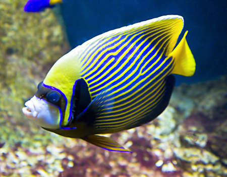 pomacanthus imperator: Tropical fish Fish-emperor,or fish-angel, latin name Pomacanthus imperator,  blue and yellow colours. Stock Photo