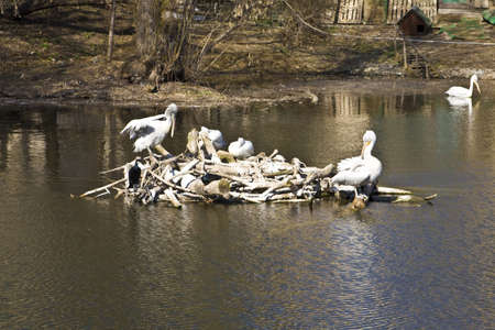 Few pelicans sitting on nest on water. Recorded in Moscow zoo. Stock Photo - 14778113