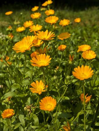 Canteiro de flores com muitas flores de cal�ndula officinalis, cor de laranja. Banco de Imagens