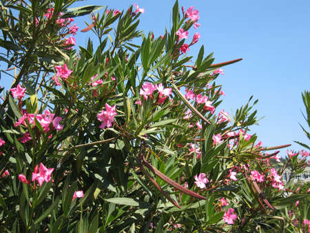 Shrub of oleander with pink flowers on blue sky. photo