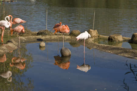 Few pink and white flamingo on blue water with reflection, recorded in Moscow zoo. Stock Photo - 14966419