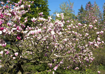 Pink magnolia tree in blossom with flowers. Stock Photo - 15260665