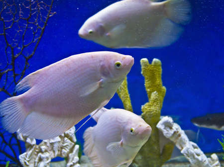 cichlidae: Tropical fishes Cichlidae of lake Malawi, few fishes of white colour and corals, recorded in aquarium.