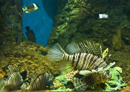 volitans: Fish-zebra (Pterois volitans), recorded in aquarium in town Sevastopol.