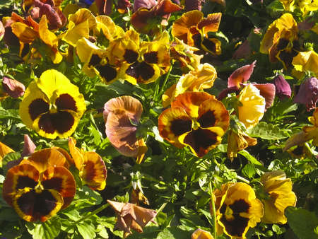 tricolour: Flowerbed with yellow pansies (viola tricolour), horizontal view.