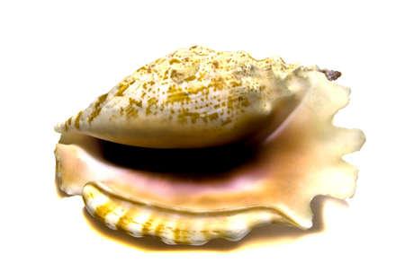 medium size: Pink shell medium size, isolated on white background  Stock Photo