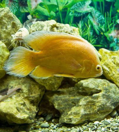 cichlasoma: Tropical fish yellow cichlasoma, recorded in acquarium