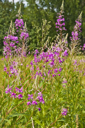 Summer meadow in blossom with wild pink flowers willowweed stock stock photo summer meadow in blossom with wild pink flowers willowweed mightylinksfo