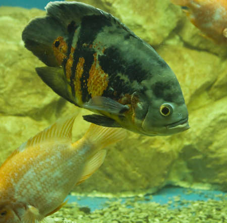 Tropical fish latin name Astronotus ocellatus, recorded in aquarium  Stock Photo