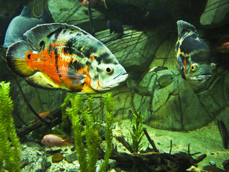 ocellatus: Tropical fish Astronotus ocellatus, one of the variants of colours. Recorded in aquarium in town Yalta, Crimea. Stock Photo