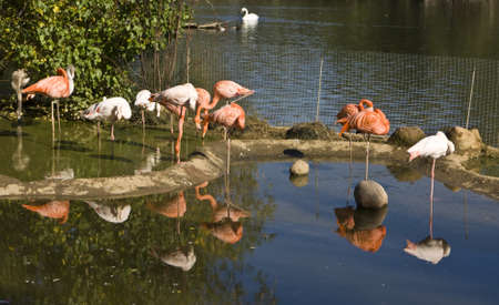 Few pink and white flamingo on blue water with reflection, recorded in Moscow zoo. Stock Photo - 16354406