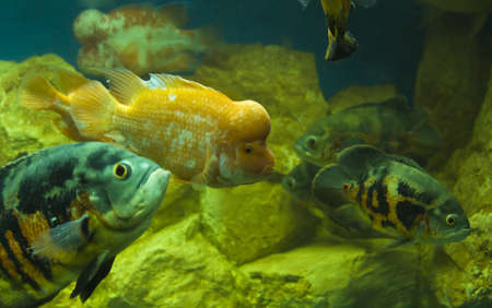 Tropical fishes cichlasoma citrinellum and two Astronotus ocellatus.