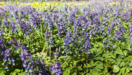 corydalis: Meadow with first spring flowers purple corydalis.