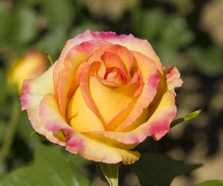 Rose de cores rosa e amarelo, esp