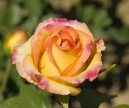 Rose of pink and yellow colours, sort