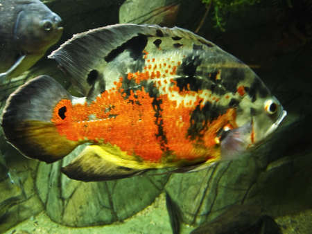 Tropical fish Astronotus ocellatus, recorded in aquarium in town Yalta in Crimea  photo