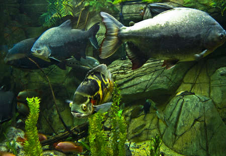Tropical fishes Astronotus ocellatus and Black packu  Serrasalminae