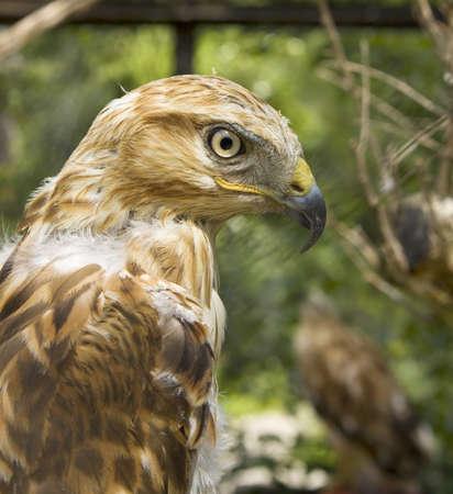 chrysaetos: Young bird of prey Golden eagle Aquila Chrysaetos, head.