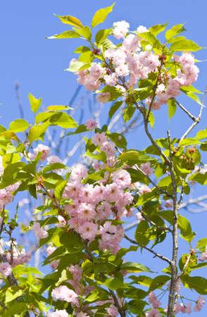 primus: Flowers of one of variants of Japanese pink bird cherry tree on blue sky, latin Prunus serrulata (Primus serrulata)