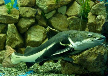 sheatfish: Siluro hioliopterus Phractocephalus en acuario.